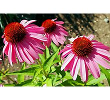 Pink and Purple Echinacea Cone Flower Macro Photographic Print