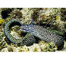 Spotted Moray Eel along the Coral Reef in the Caribbean Photographic Print