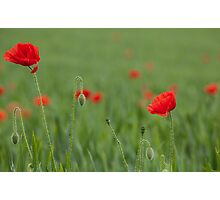 A field of poppies Photographic Print