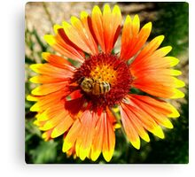 Orange and Red Gaillardia Prairie Flower with Bee Macro Canvas Print