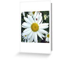 White Daisy Flower and Ladybug  Greeting Card