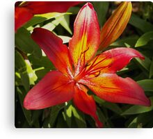 Glowing Fiery Red Lilly in the Garden Canvas Print