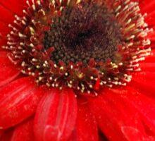 Giant Red Gerber Daisy Flower in the Garden Sticker