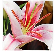 Macro Pink and White Lilly Flower in the Garden Poster