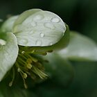 Green Macro Hellebore by edesigns14