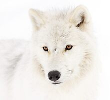 Portrait of a Wolf by Jim Cumming