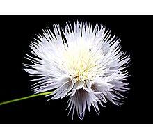 White Wildflower Photographic Print