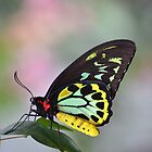 Cairns Birdwing Butterfly by gmws