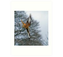 Red Kite Stooping to Right Art Print