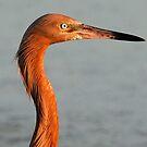 A reddish Egret in profile by jozi1