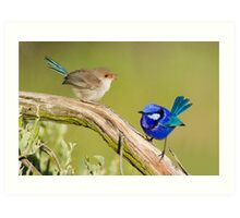 Splendid Fairy-wren (Female & Male) Art Print