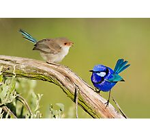 Splendid Fairy-wren (Female & Male) Photographic Print