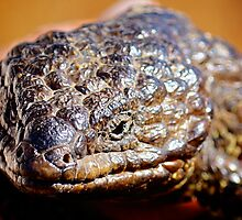 Shingleback Lizard  by D-GaP