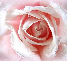 pale pink rose by kukkamoon