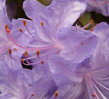 violet rhododendrum flowers by kukkamoon