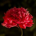 Red Poppy Macro by Elaine Teague
