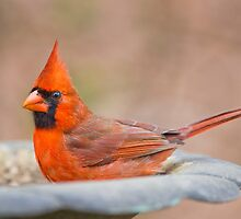 Cardinal at the Spa by Bonnie T.  Barry