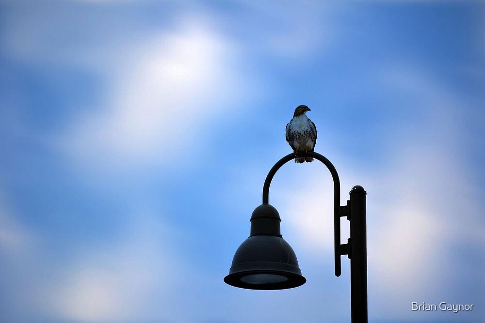 Hawk on the Hook by Brian Gaynor