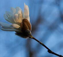 Blue Sky Magnolia Blossom - Dreaming of Spring by Georgia Mizuleva