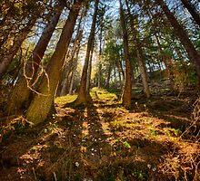 Conifer forest lit by the sun naturalistic landscape color fine art - Sole nel Bosco by visionitaliane