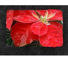 Mottled Red Poinsettia 1 Ephemeral Blank P4F0 Photographic Print