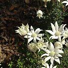 Flannel Flowers by Aakheperure
