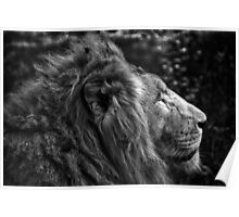 Fine art black and white naturalistic animal wall art - lion close up - Il Re Poster