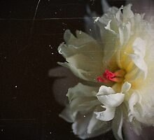 Peony by Dawn Beck