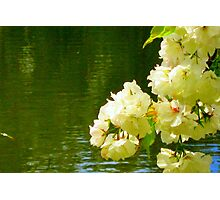 Cherry Blossom reflections Photographic Print
