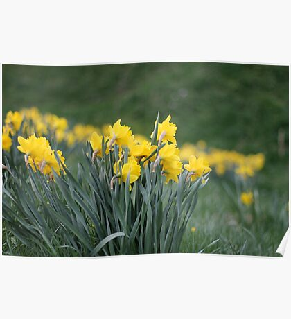 Daffodil Backs Poster