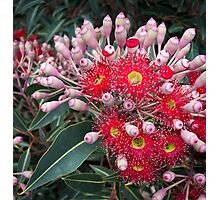 Australian Native Flower (with ants) Photographic Print