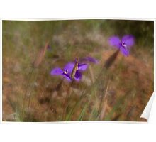 Silky Purple Flags (Patersonia sericea) Poster