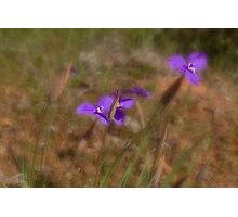 Silky Purple Flags (Patersonia sericea) Photographic Print