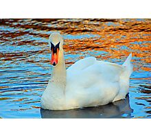 Beautiful swan, with trees reflected on the water Photographic Print