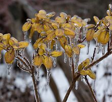 Toronto Ice Storm 2013 - My Garden in the Morning  by Georgia Mizuleva