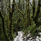 Winter Rainforest Walk - Snoqualmie N. F. by Mark Heller
