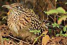 Earth Cuckoo by NatureGreeting Cards ©ccwri