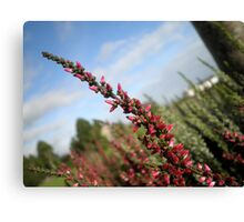 Irish Heather Canvas Print