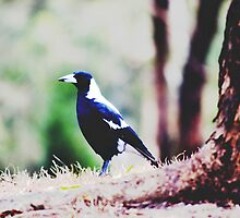 Magpie by kiwilover