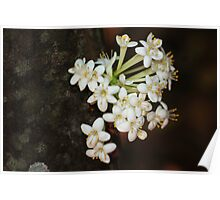 Phaleria clerodendron Poster
