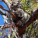 koala by Glen Johnson
