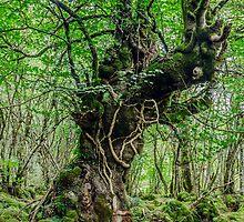 Big old tree by Tilyo Rusev