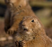 Black-Tailed Prairie Dogs by HelenBeresford
