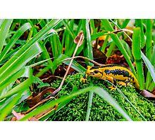 Yellow salamander Photographic Print
