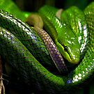 Green Tree Python by HelenBeresford