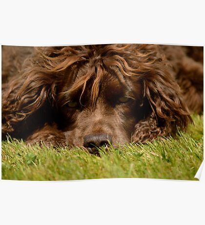 Chocolate Cocker Spaniel Poster