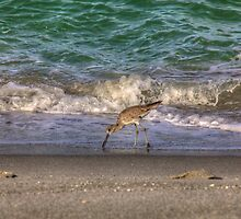 A Willet by njordphoto
