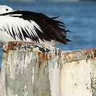 Pelican resting by Jane McDougall