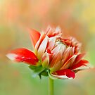A Dahlia A Day by Marilyn Cornwell