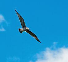 Seagull in Flight by Nick Jenkins
